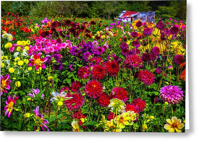 Lovely Dahlia Garden Greeting Card by Garry Gay
