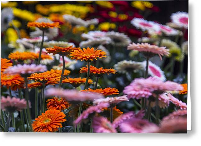 Gerbera Daisies Greeting Cards - Lovely Daisy Garden Greeting Card by Garry Gay