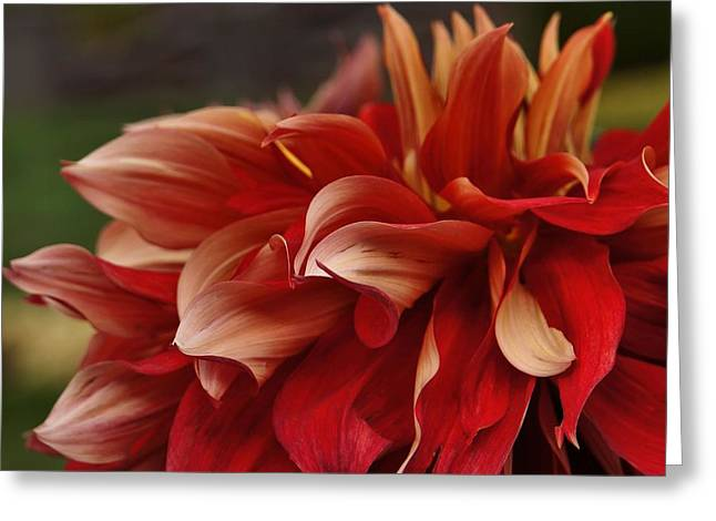 Dinner-plate Dahlia Greeting Cards - Lovely in Red Greeting Card by Patricia Strand