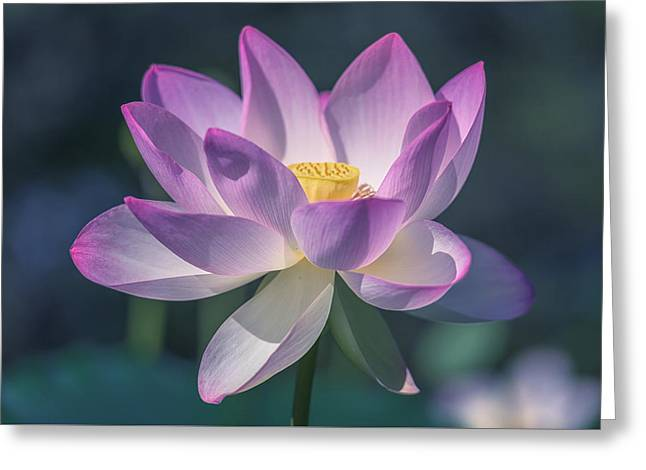 Aquatic Greeting Cards - Lovely Lotus Greeting Card by Cindy Hartman