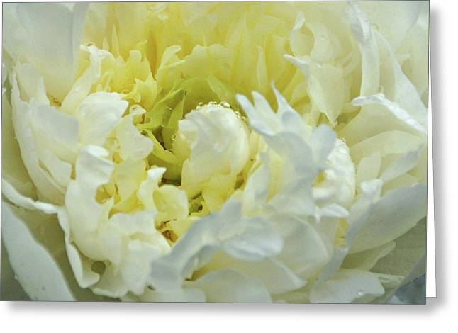 Lovely Peony Greeting Card by Sandy Keeton