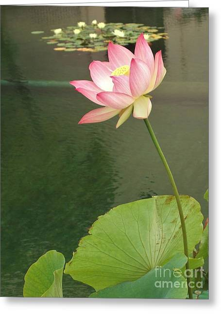 Bloosom Greeting Cards - Lovely Pink Waterlily Greeting Card by Jasna Gopic