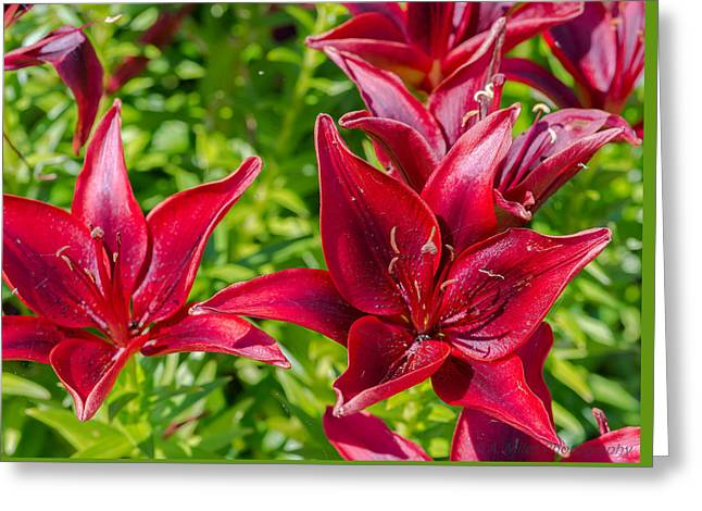 Coloured Greeting Cards - Lovely Red Lilies Greeting Card by Andrew Miles