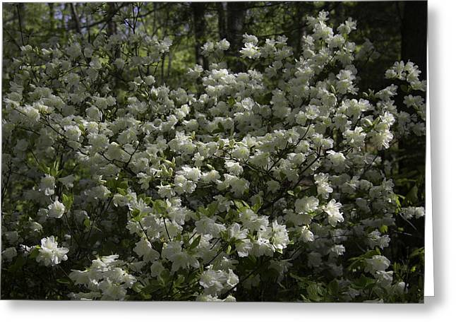 Dappled Sunlight Greeting Cards - Lovely White Azaleas at Happy Hollow Gardens Greeting Card by Teresa Mucha