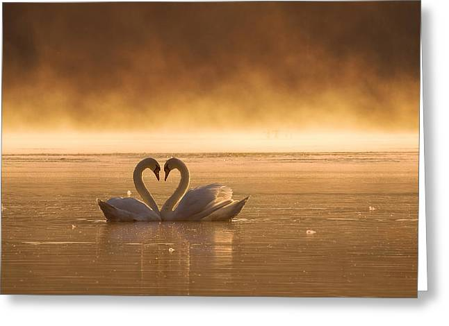 Swans... Photographs Greeting Cards - Lovers Greeting Card by Przemyslaw Kruk
