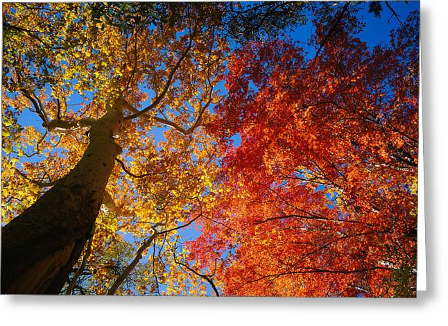 Sycamore Greeting Cards - Low Angle View Of A Sycamore Tree Greeting Card by Panoramic Images