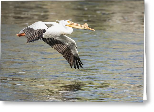Flying White Pelicans Greeting Cards - Low Flyer Greeting Card by Thomas Young