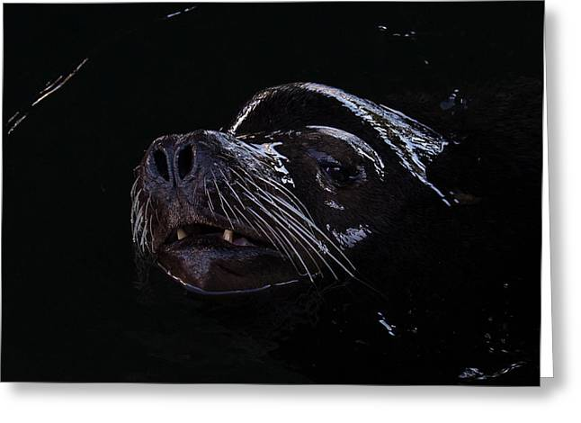 Sea Lions Greeting Cards - Low Key Sea Lion Greeting Card by Randy Hall