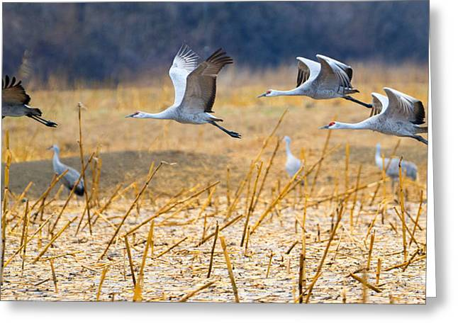 Sandhill Crane Greeting Cards - Low Level Flyby Greeting Card by Mike Dawson
