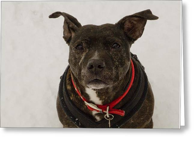 Staffie Greeting Cards - Lucy staffie in snow Greeting Card by Clive Beake
