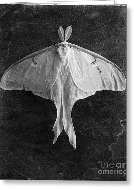 Luna Greeting Cards - Luna Moth  Greeting Card by Edward Fielding