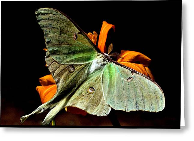 Luna Greeting Cards - Luna Moth Greeting Card by Karen M Scovill