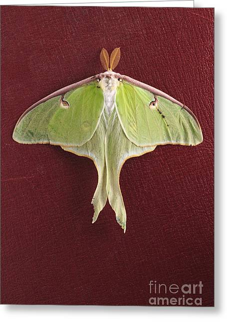 Luna Greeting Cards - Luna Moth over Red Leather Greeting Card by Edward Fielding