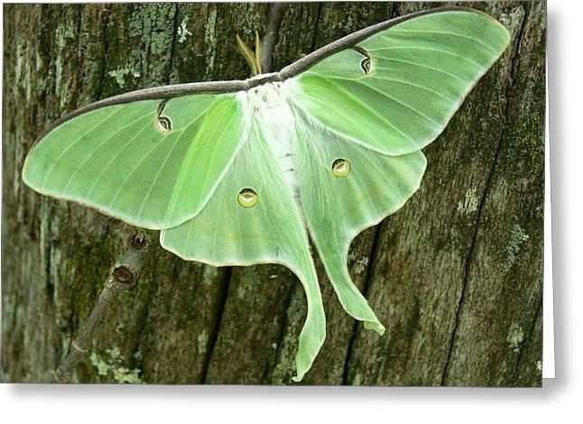 Luna Greeting Cards - Luna Moth Greeting Card by Serina Wells