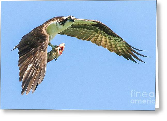 Flying Animal Greeting Cards - Lunch Time Greeting Card by Alex Shipherd