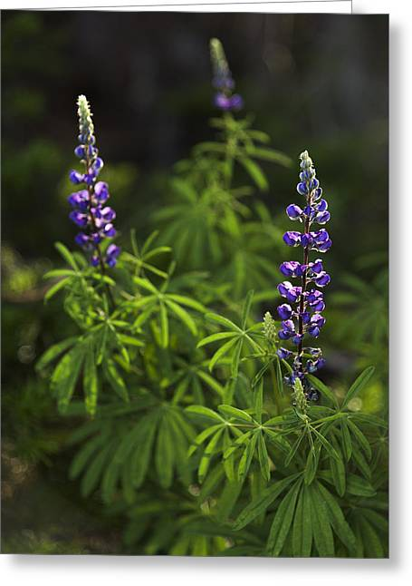 Lupine Greeting Card by Chad Dutson