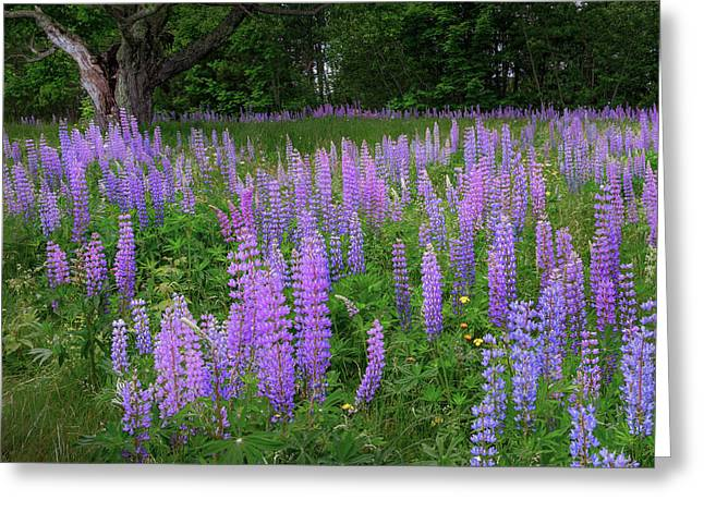 Lupine Glow Square Greeting Card by Bill Wakeley