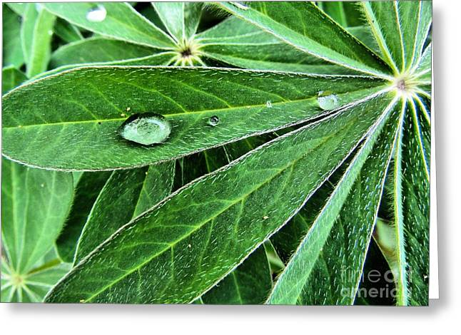 Maine Spring Greeting Cards - Lupine Leaf Water Drop  Greeting Card by Elizabeth Dow