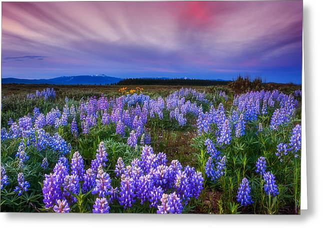 Flower Fine Art Photography Greeting Cards - Lupine Morning Greeting Card by Darren  White