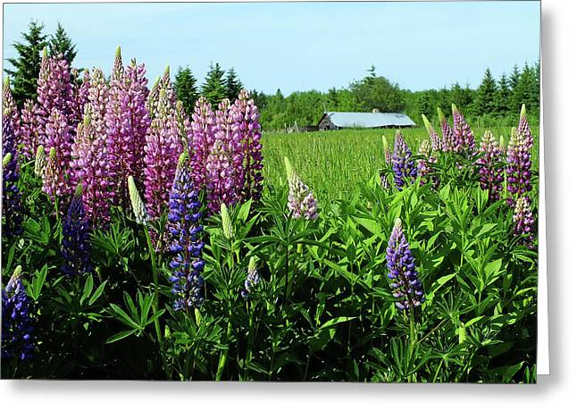 Lupine Spring Greeting Card by Bill Morgenstern