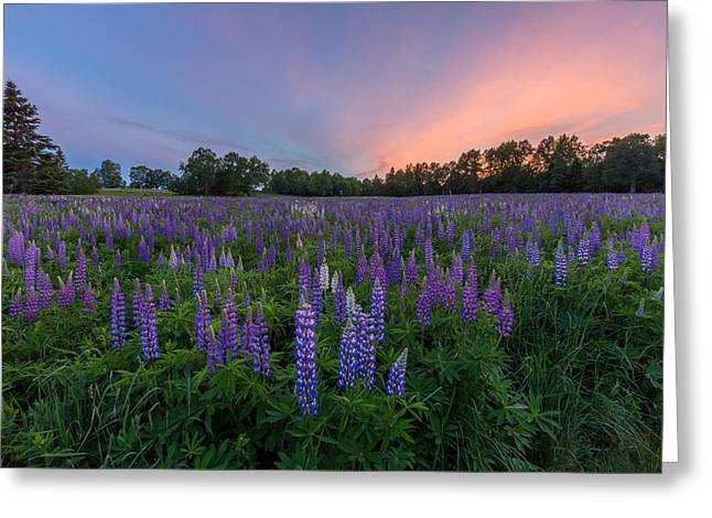 Lupine Sunset Greeting Card by Stephen Beckwith