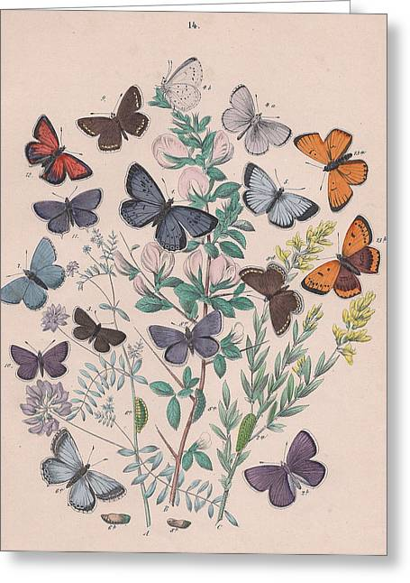 Butterflies Drawings Greeting Cards - Lycaenidae Greeting Card by W Kirby