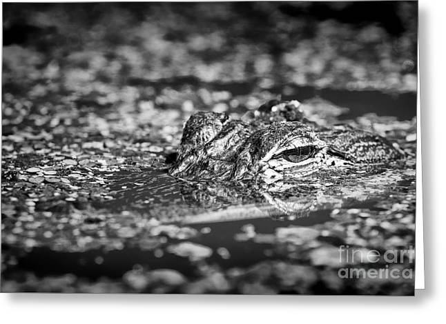 Florida Gators Greeting Cards - Lying Low Gator Greeting Card by Patrick M Lynch