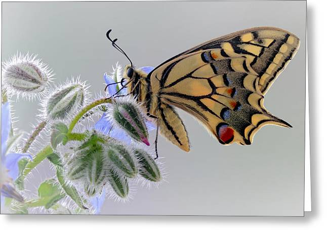 Swallowtail Greeting Cards - Macaon Greeting Card by Jimmy Hoffman
