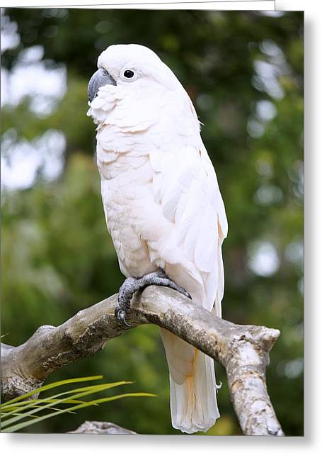 Pretty Cockatoo Greeting Cards - Cockatoo Greeting Card by Laurie Perry