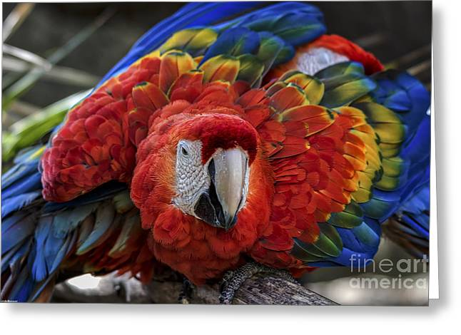 Pirates Greeting Cards - Macaw Parrot Greeting Card by Mitch Shindelbower
