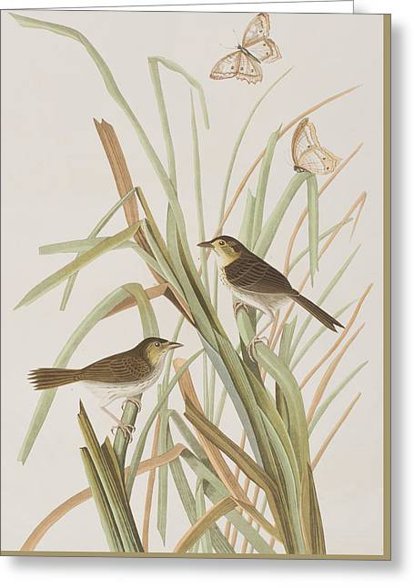 Finch Greeting Cards - MacGillivrays Finch  Greeting Card by John James Audubon