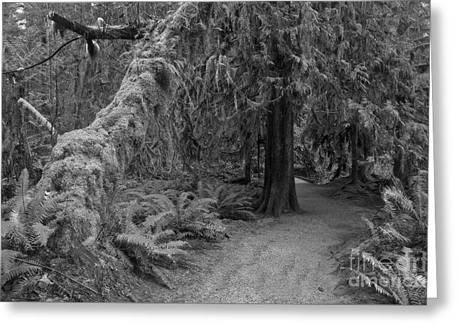 Macmillan Cathedral Grove Black And White Greeting Card by Adam Jewell