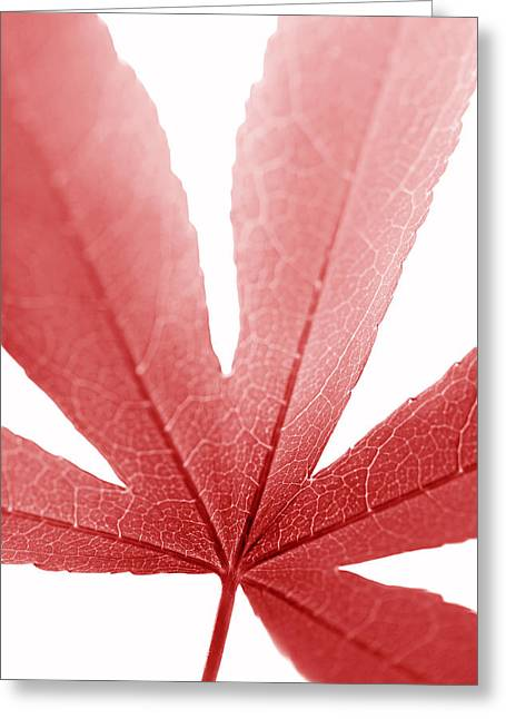Translucent Light Greeting Cards - Macro Japanese Red Leaf Vertical Greeting Card by Jennie Marie Schell