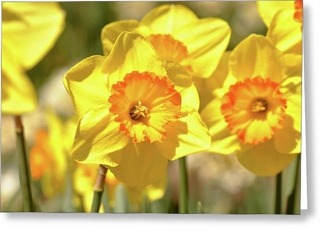 Flower Blossom Greeting Cards - Macro of Yellow Daffodils Close Up Greeting Card by Brandon Bourdages