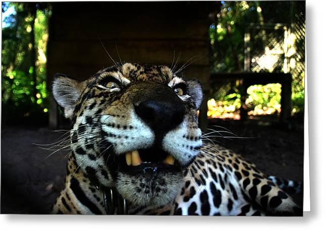 Jaguars Greeting Cards - Mad Jaguar Greeting Card by Harry Coburn