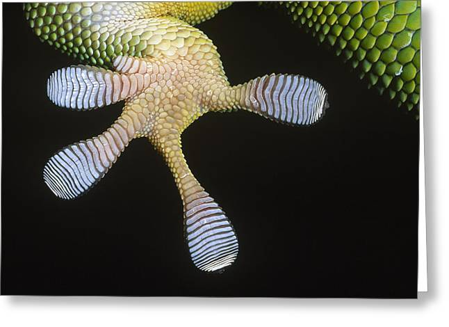 Adhesive Greeting Cards - Madagascar Day Gecko Phelsuma Greeting Card by Ingo Arndt