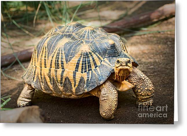 Large Scale Greeting Cards - Madagascar Radiated Tortoise Greeting Card by Jamie Pham