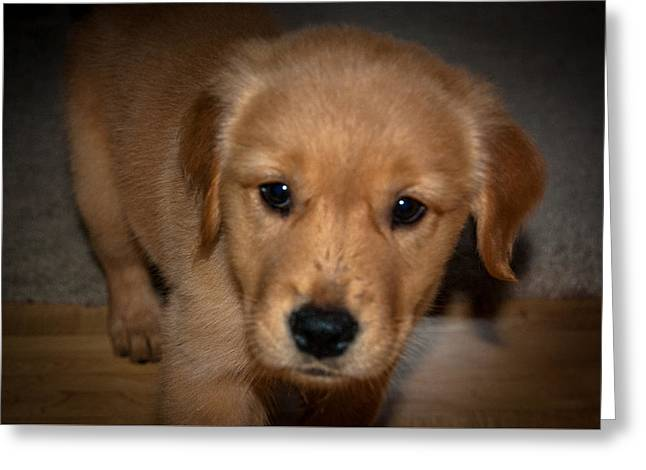 Puppies Photographs Greeting Cards - Madison the Puppy Greeting Card by William Wight