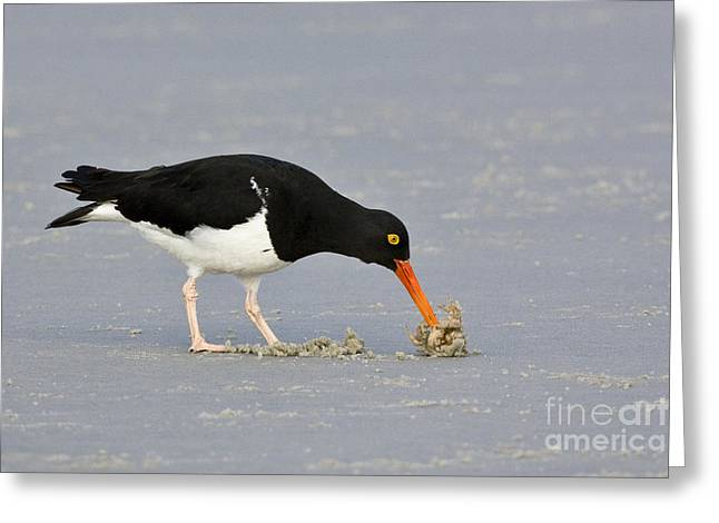 Magellanic Oystercatcher And Crab Greeting Card by Jean-Louis Klein & Marie-Luce Hubert