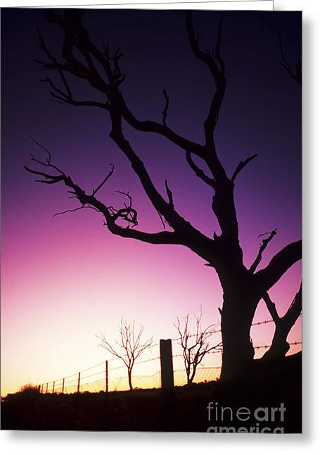 Alluring Photographs Greeting Cards - Magenta Silhouette Tree Greeting Card by Bill Bachmann - Printscapes