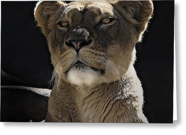 Lioness Greeting Cards - Magnificent lioness Greeting Card by Sheila Smart