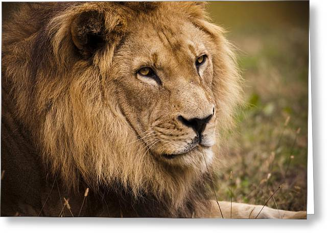 Decent Greeting Cards - Magnificent Male Lion Greeting Card by Chad Davis
