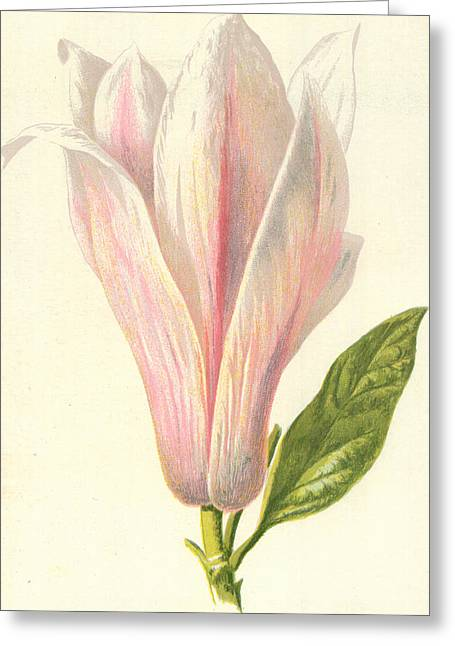 Soft Drawings Greeting Cards - Magnolia Greeting Card by Frederick Edward Hulme