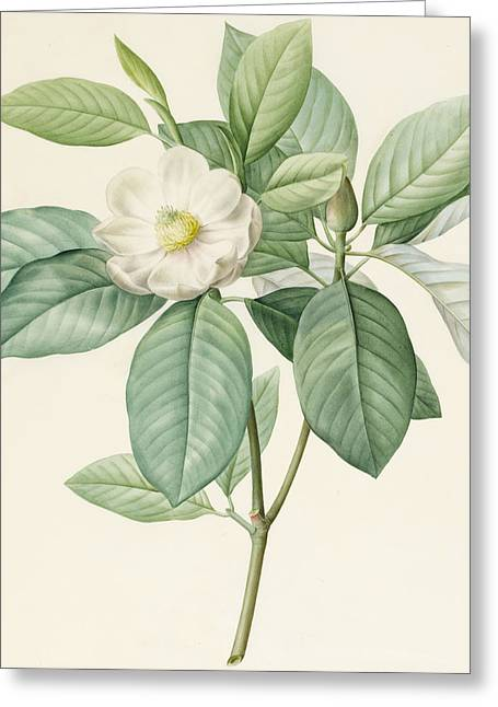 1811 Greeting Cards - Magnolia Glauca Greeting Card by Pierre Joseph Redoute