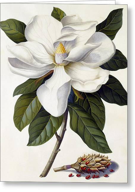 Magnolia Grandiflora Greeting Card by Georg Dionysius Ehret