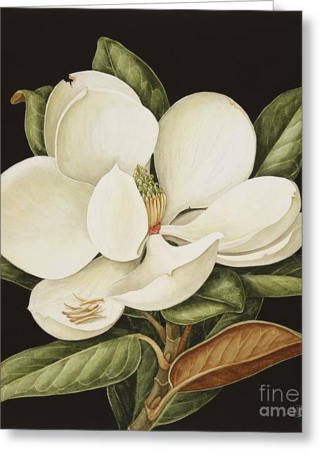Recently Sold -  - Rose Petals Greeting Cards - Magnolia Grandiflora Greeting Card by Jenny Barron