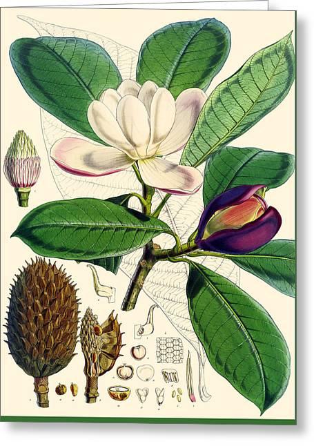 Seeds Drawings Greeting Cards - Magnolia hodgsonii Greeting Card by Joseph Dalton Hooker