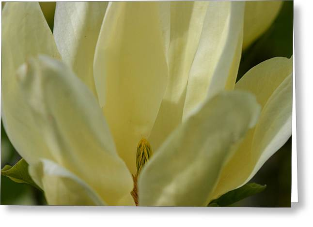 Divine Feminine Greeting Cards - Magnolia Perspective II Greeting Card by Dagmar Ceki