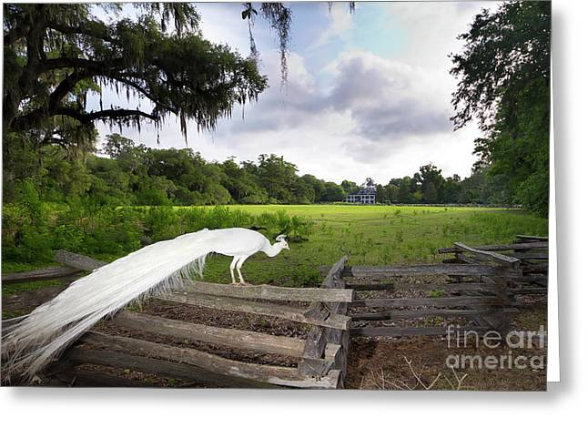Southern Scene Greeting Cards - Magnolia Plantation White Peacock  Greeting Card by Dustin K Ryan