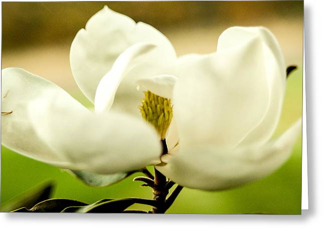 Sunlight On Flowers Digital Greeting Cards - Magnolia Greeting Card by Sarah Pacheco